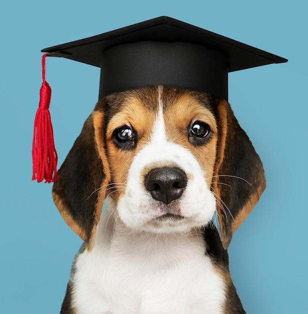 Cute beagle puppy in a graduation cap Free Photo