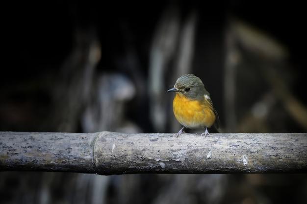 Cute bird on the bamboo and dark background. Premium Photo