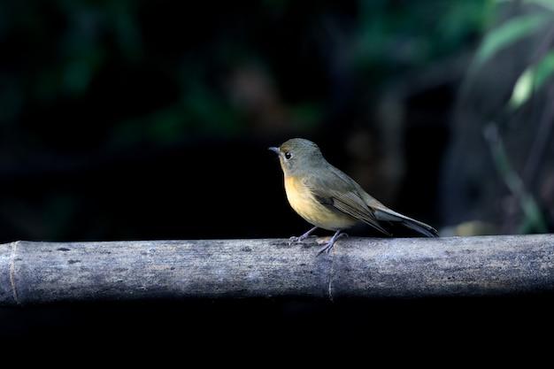 Cute bird on the bamboo and dark green background. Premium Photo
