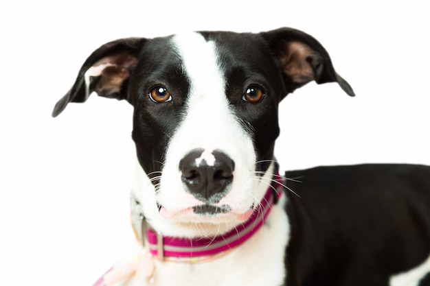 Cute black an white dog looking at camera isolated in white background Premium Photo