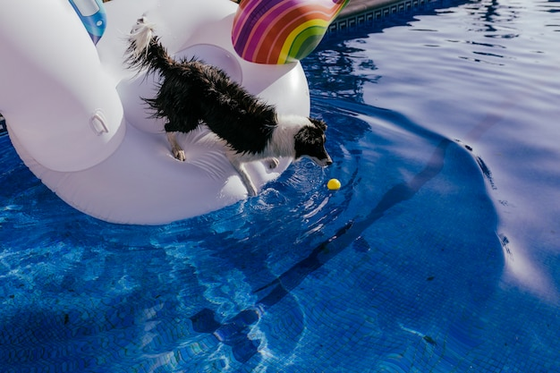 Cute border collie dog standing on an inflatable toy unicorn at the swimming pool Premium Photo