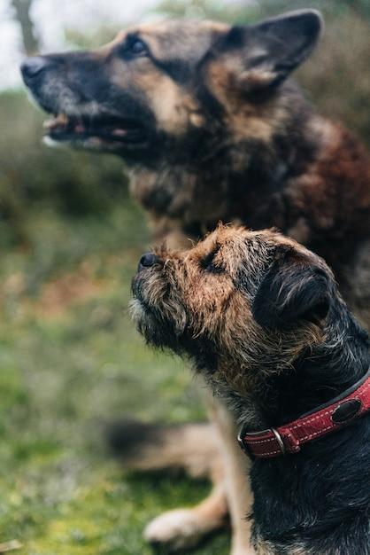 かわいいボーダーテリア犬と草の上に座っているジャーマンシェパード 無料写真