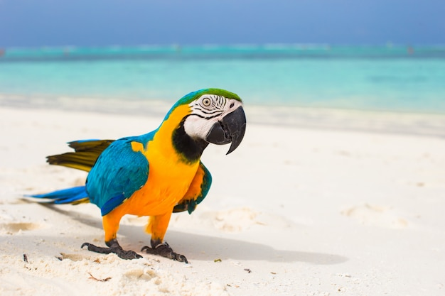 Cute bright colorful parrot on the white sand in the maldives Premium Photo