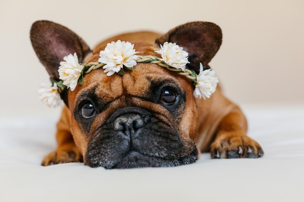 Cute brown french bulldog lying on bed at home. wearing a beautiful white wreath of flowers. pets indoors and lifestyle Premium Photo