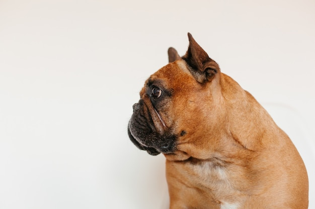Cute brown french bulldog sitting on the floor at home and . funny and playful expression. pets indoors and lifestyle Premium Photo
