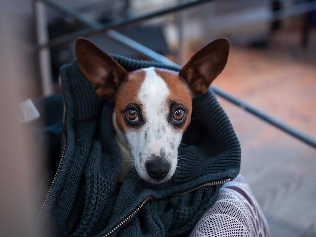Simpatico cane marrone e bianco con uno sguardo gentile in casa Foto Gratuite