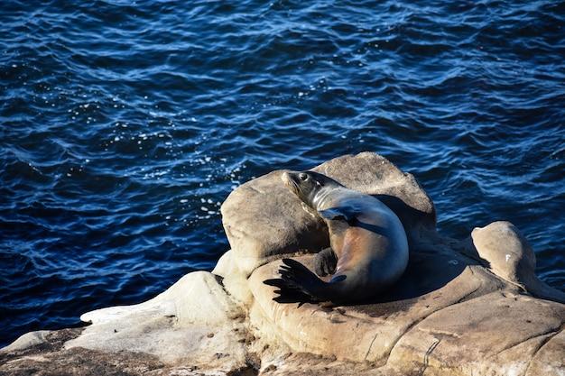 海岸で岩の上に休んでかわいいカリフォルニアアシカ 無料写真