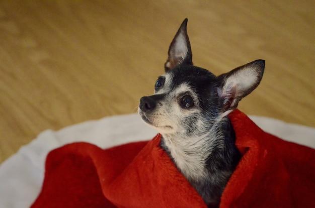 赤い毛布で覆われた悲しい目でかわいいチワワ犬 無料写真