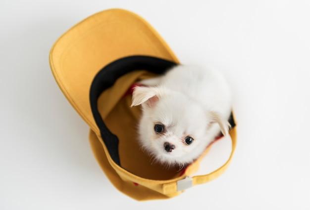 Cute chihuahua puppy Free Photo