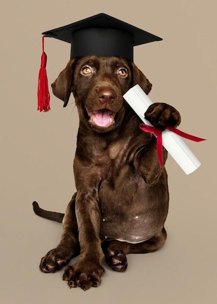 Cute chocolate labrador retriever in a graduation cap and holding a certificate roll Premium Photo