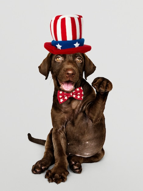 Cute chocolate labrador retriever in uncle sam hat and bow tie Free Photo