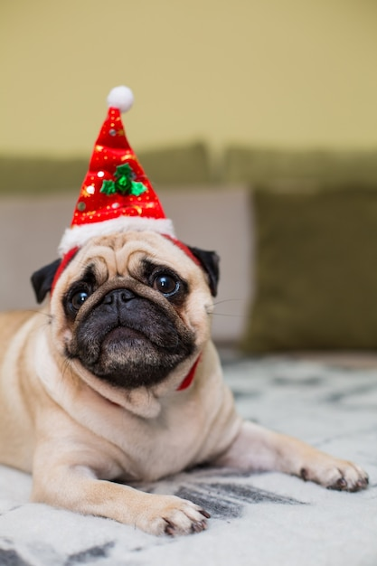 Cute christmas pug puppy dog wearing red santa hat Free Photo