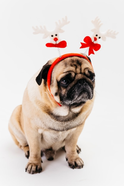 Cute christmas pug in white and red headband Free Photo