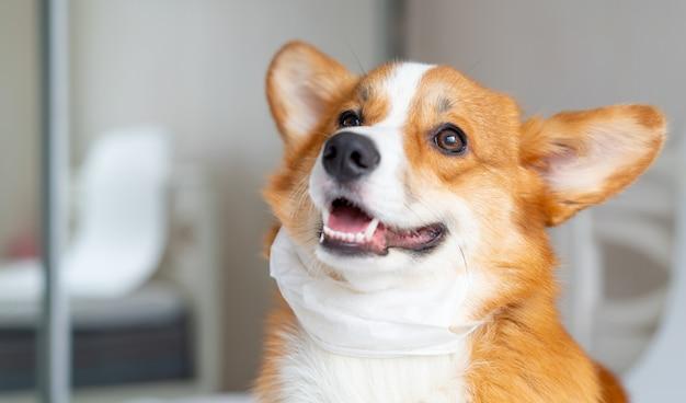 Cute corgi dog posing in medical mask. concept healthe lifestyle, illness and epidemic Premium Photo