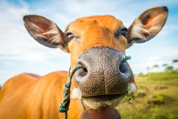 Cute cow closeup Free Photo