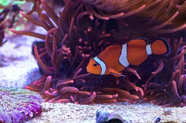 Pesci svegli della corona che nuotano nell'oceano Foto Gratuite
