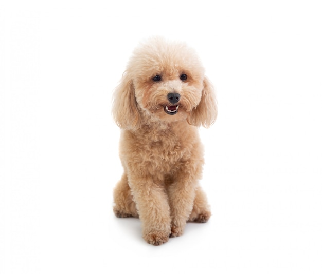 Cute curly-haired poodle Premium Photo