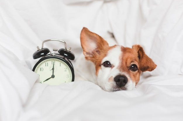 Cute dog on bed at home with alarm clock Premium Photo