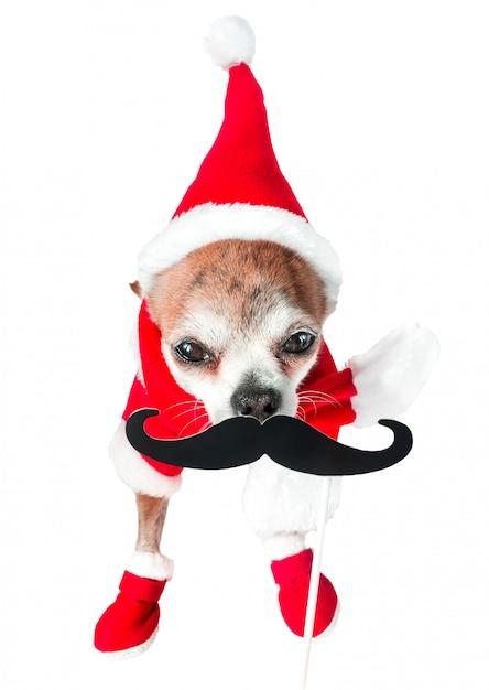 격리 된 흰색에 검은 가짜 콧수염과 산타 클로스 의상에서 귀여운 강아지 치와와. 프리미엄 사진