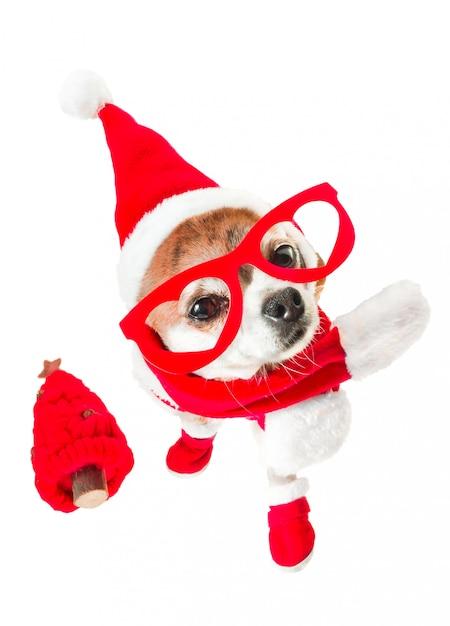 격리 된 화이트에 눈에 빨간 크리스마스 트리와 빨간 안경 산타 클로스 의상에서 귀여운 강아지 치와와. 프리미엄 사진