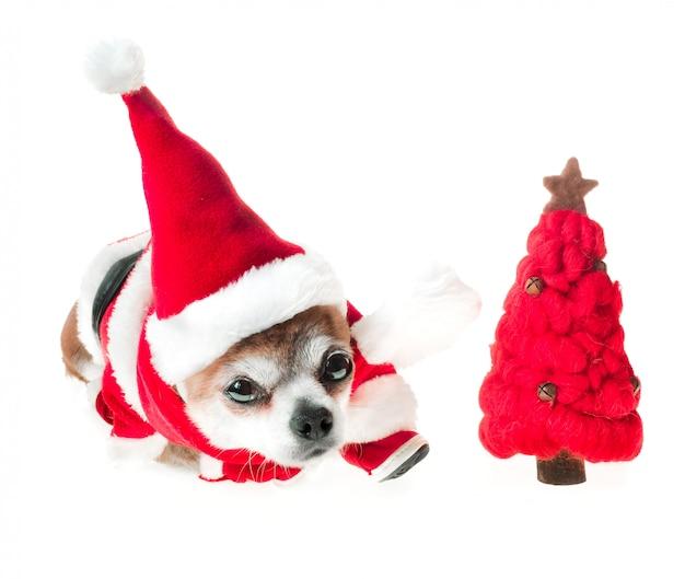 빨간 크리스마스 트리와 산타 클로스 의상에서 귀여운 강아지 치와와 격리 된 화이트에 놓여 있습니다. 프리미엄 사진
