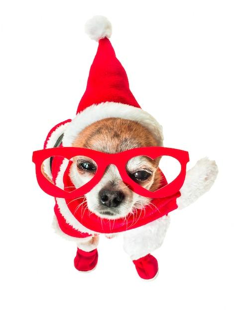 격리 된 화이트에 눈에 빨간 안경 산타 클로스 의상에서 귀여운 강아지 치와와. 프리미엄 사진