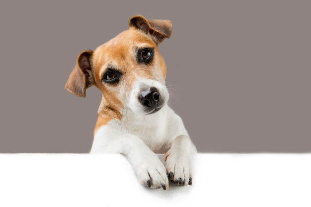 Cute dog looks down over the banner. empty space for your text Premium Photo