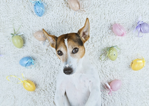Cute dog lying back on white rug with easter painted eggs Premium Photo