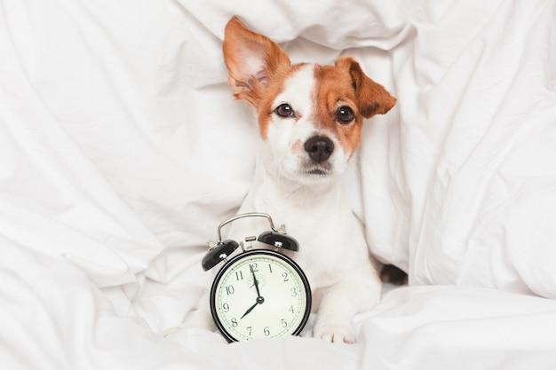 目覚まし時計と自宅のベッドの上のかわいい犬 Premium写真