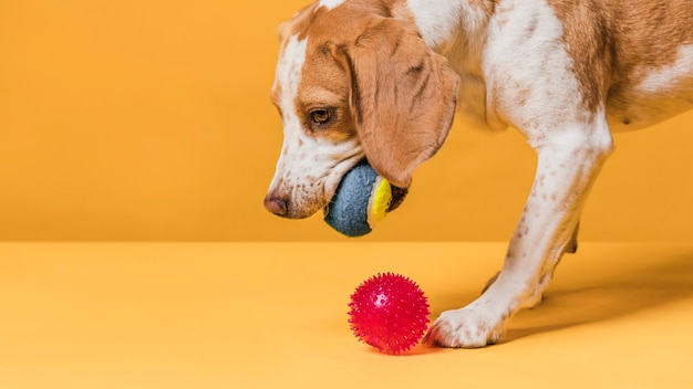 Cute dog playing with little rubber balls Free Photo