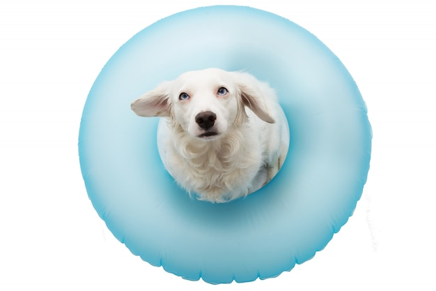 Cute dog summer vacations. puppy  sunbathing with blue air float pool. isolated Premium Photo