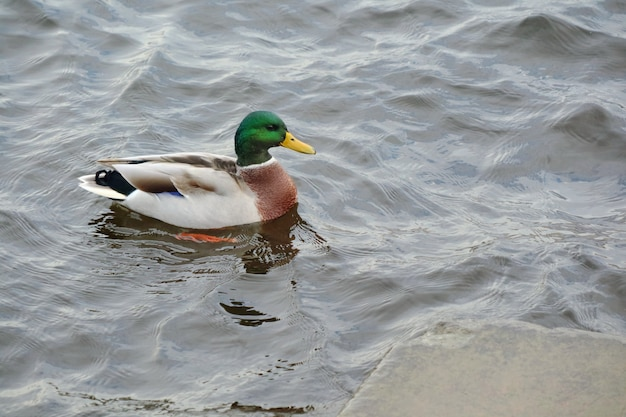 Cute duck is swimming on water with reflections. soft focus. Premium Photo