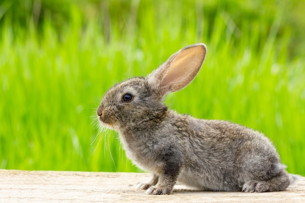 Cute fluffy grey rabbit with ears on a natural green Free Photo