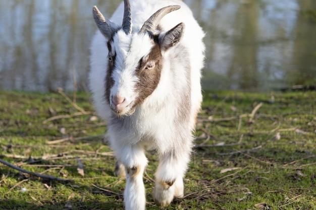Симпатичная пушистая бело-коричневая коза идет к камере Бесплатные Фотографии