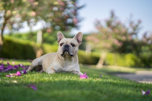 Cute french bulldog lying on grass under bauhinia purpurea tree in the garden. Premium Photo