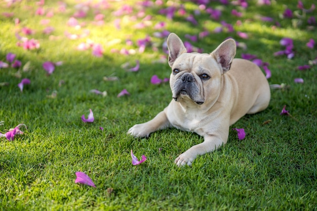 Cute french bulldog lying on grass under bauhinia purpurea tree in the garden. Premium Photo