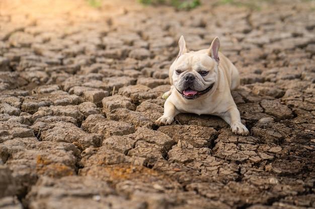 Милый французский бульдог лежа на сухой треснутой земле на пруде в лете. Premium Фотографии