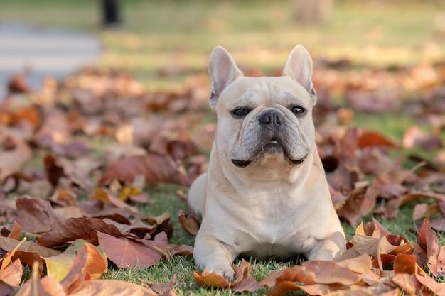 Милый французский бульдог, лежащий на осенних листьях Premium Фотографии
