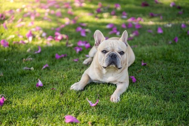 Милый французский бульдог лежа на траве под деревом purpurea bauhinia в саде. Premium Фотографии