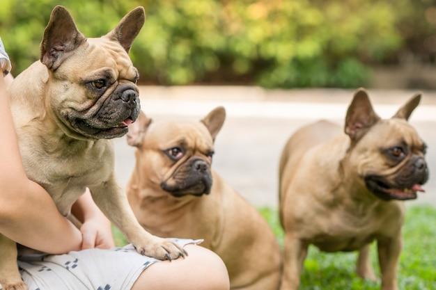 Cute french bulldog sitting on woman's lap at garden. Premium Photo