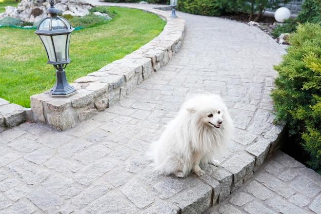 Cute friendly white spitz dog walking in the park in warm spring day. animal background Premium Photo