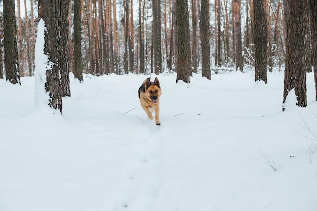 Simpatico pastore tedesco nella foresta di neve in inverno Foto Gratuite