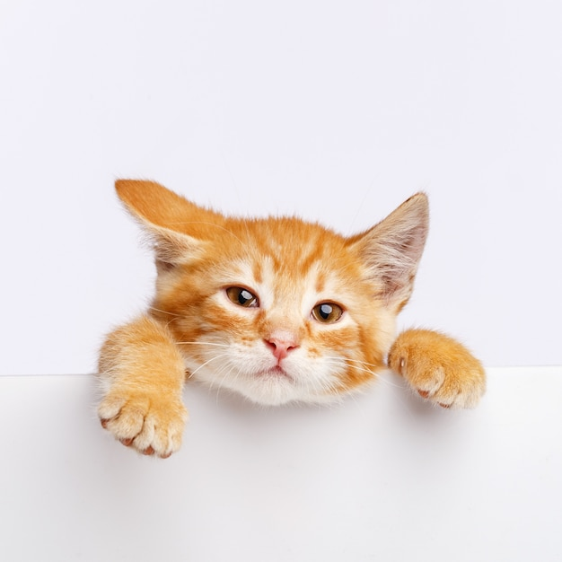 A cute ginger kitten peeks out from the edge of a white board. copy space. Premium Photo