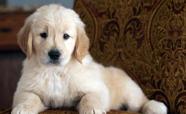 소파에 쉬고 귀여운 골든 리트리버 강아지 무료 사진