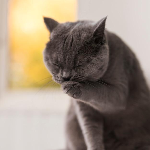Cute grey british shorthair cat cleaning her paw Free Photo