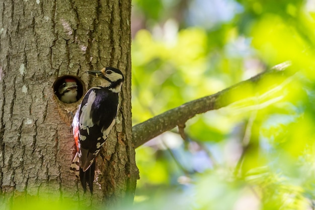 Cute hairy woodpecker feeding the baby woodpecker with insects Free Photo