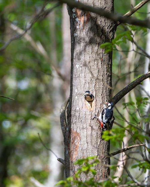 Picchio peloso sveglio che alimenta il picchio bambino con gli insetti Foto Gratuite