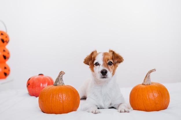 집에서 귀여운 잭 러셀 강아지. 침실에서 할로윈 배경 장식 프리미엄 사진