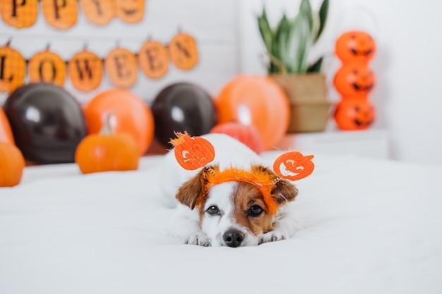집에서 귀여운 잭 러셀 강아지. 풍선, 화환 및 호박 침실에서 할로윈 장식 프리미엄 사진