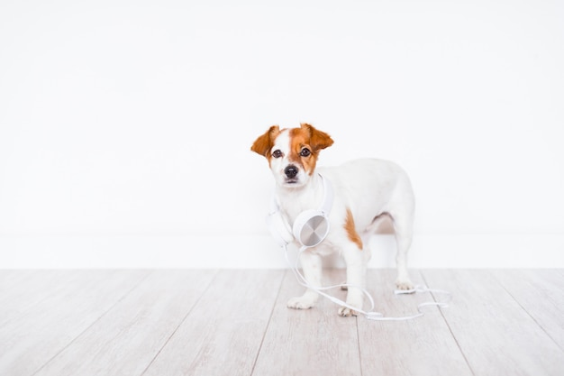 Cute jack russell dog listening to music on headset at home Premium Photo